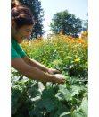 Bio Gurken frisch vom Feld