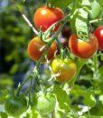 Tomatenanzuchtset von Margreblue