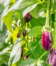 Auberginen Pflanze von Margreblue
